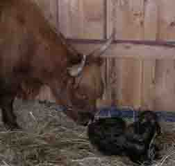 New mom Dolly appreciated the Healing Touch for Animals support during her labor to deliver her new son Cooper.